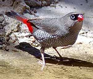 The Beautiful Firetail Photo : Brian Furby