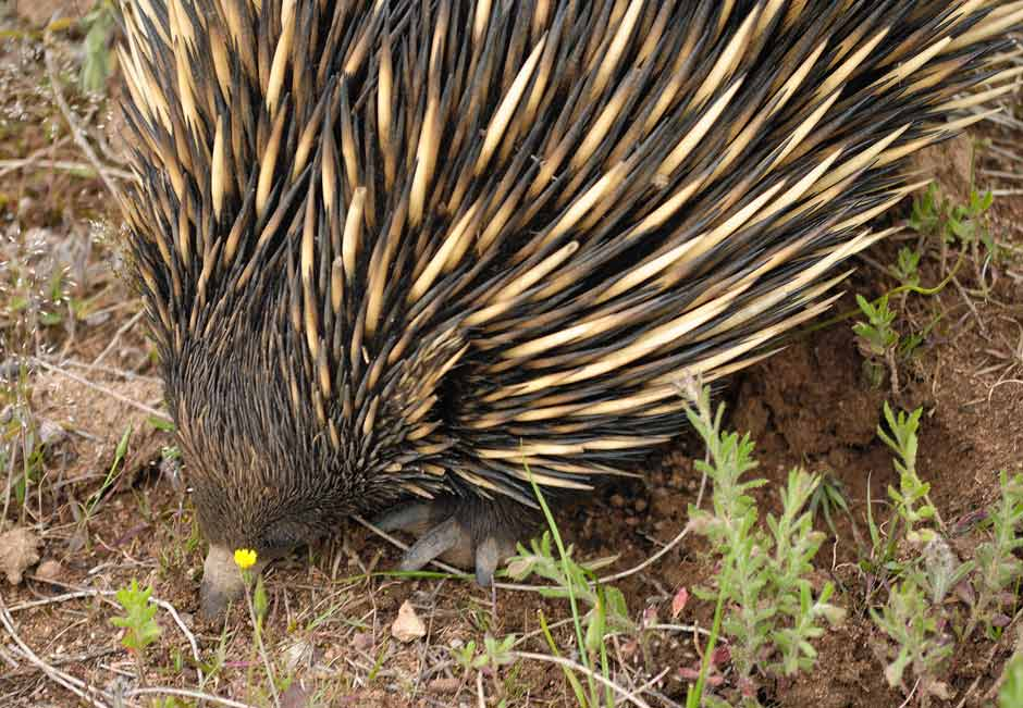 Echidna with its nose driving down