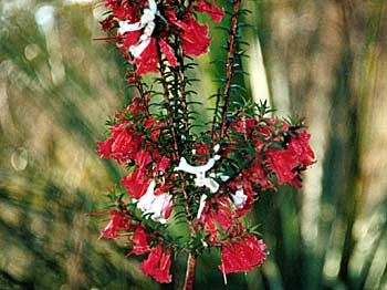 Epacris impressa - red and white flowers. Photo : Tom Hands