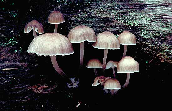 Toadstool of the Mycena species.  Photo Frank Copley